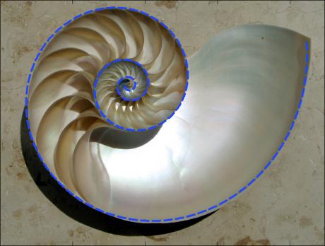 Alcuni esempi: un guscio di nautilus, una delle forme di vita più antiche sulle terra e più simile a una spirale logaritmica ...